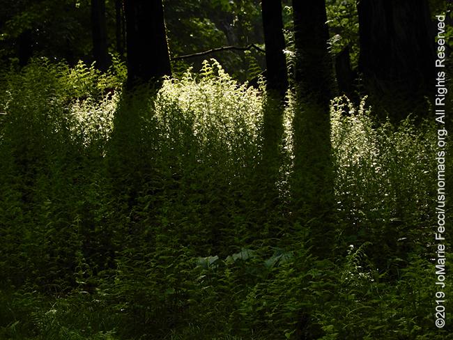 NY_May2019-0526_upstate-lightthrutheferns_DSCN4112_650w