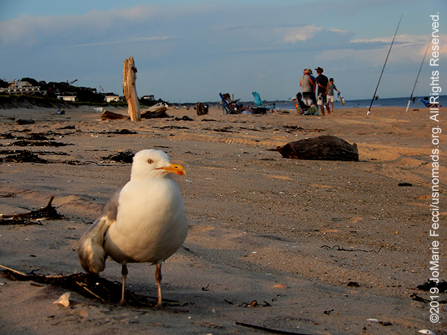 NY_JUN2019_0622_LI_EastEnd-HitherHills_beach_seagullonbeachscenebehind2_DSCN4879_650w