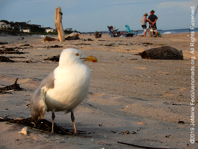 NY_JUN2019_0622_LI_EastEnd-HitherHills_beach_seagullonbeachscenebehind3_DSCN4875_650w