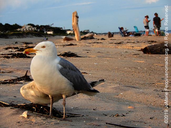 NY_JUN2019_0622_LI_EastEnd-HitherHills_beach_seagullonbeachscenebehind4_DSCN4874_650w
