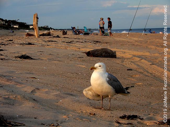 NY_JUN2019_0622_LI_EastEnd-HitherHills_beach_seagullonbeachscenebehind_DSCN4882_650w
