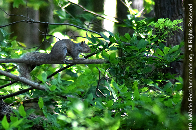 PA_JUN2019_BantamRT-0604_BaldEagle_squirrelinwoods_DSC_0220_650w