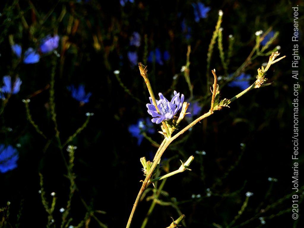 Serbia_Aug2019_Day04_Miliva-walk_CUwildflowerblue-crop_DSCN6444_1200w