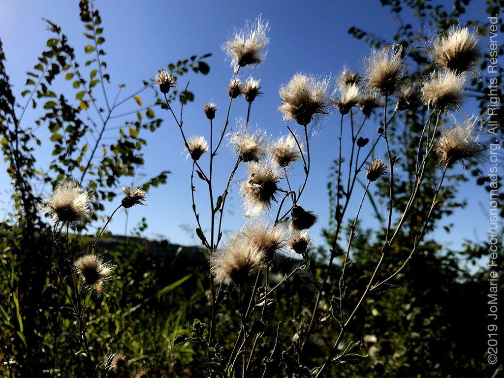 Serbia_Aug2019_Day04_Miliva-walk_whitepuffyflowers-crop_IMG_0463_1200w
