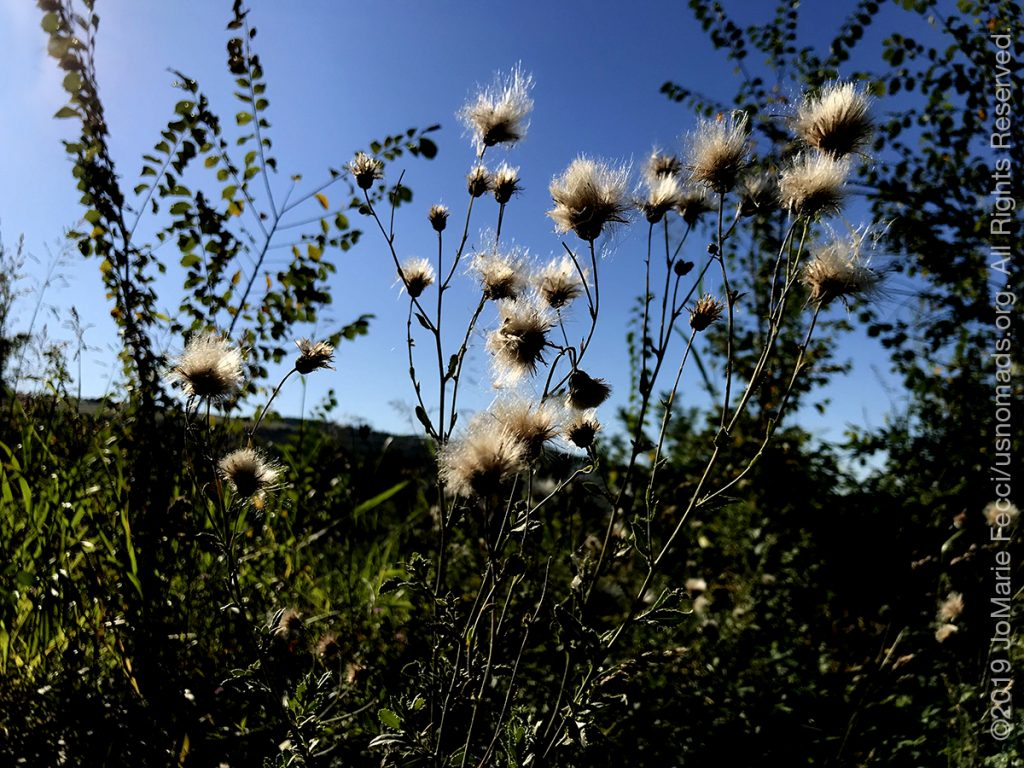 Serbia_Aug2019_Day04_Miliva-walk_whitepuffyflowers_IMG_0463_1200w