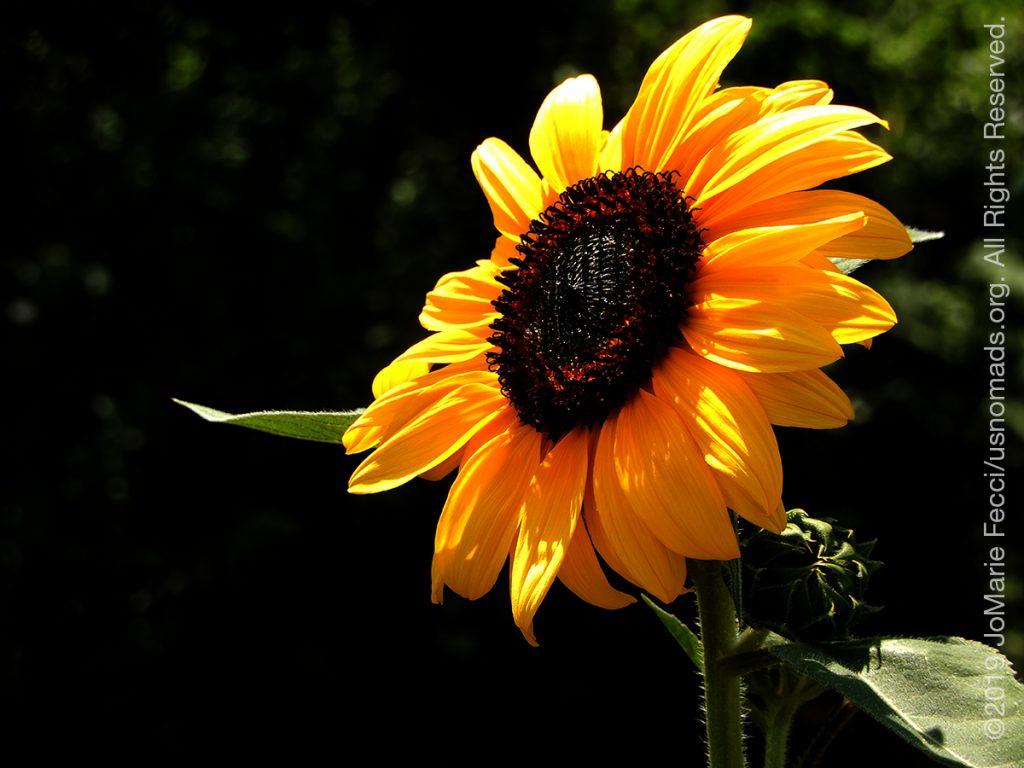 Serbia_Aug2019_Day08_roadtrip-nearborder-sunflowerdtail_DSCN6703_1200w