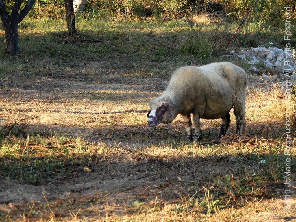 Serbia_Aug2019_Day09_Miliva-sheepacrosstheway_DSCN6727_1200w